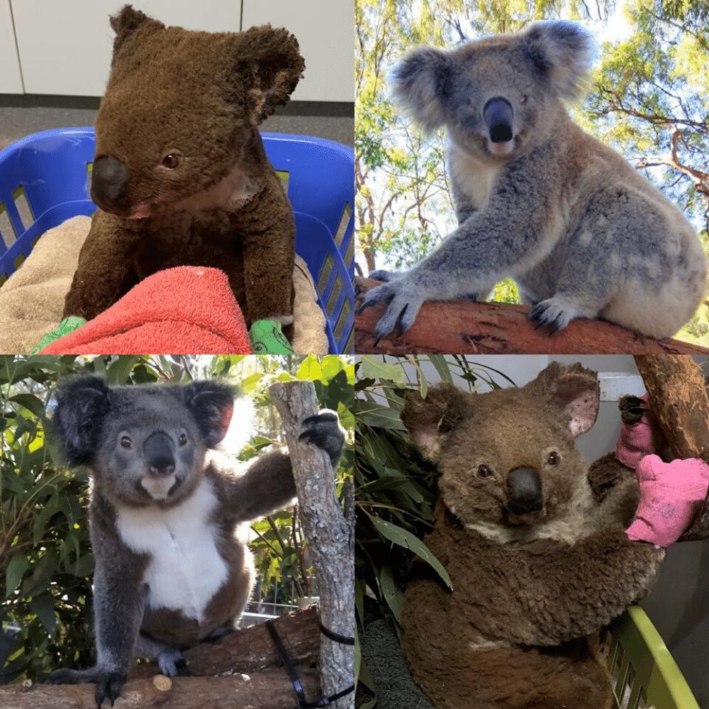 Port Macquarie Wildlife Hospital Adopt A Koala